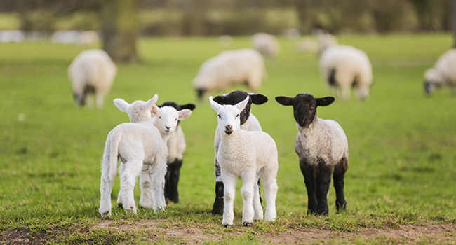 staggers-in-lambs-thumbnailjpg-1